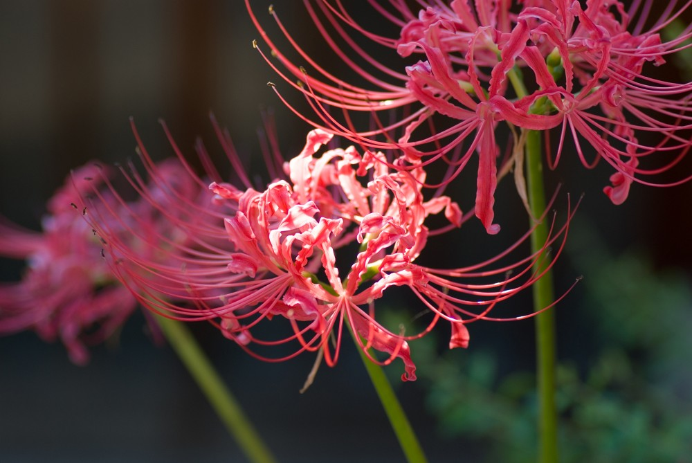 Red_spider_lily_October_2007_Osaka_Japan